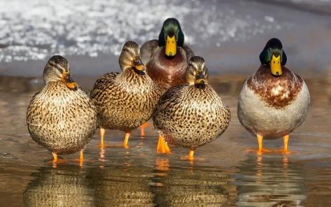 duck-1463317_640