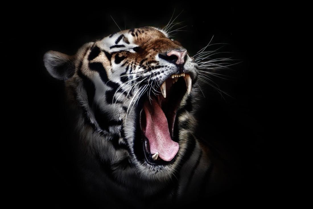 tiger-655593_1920
